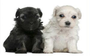 Two cute black and white Löwchen puppies.