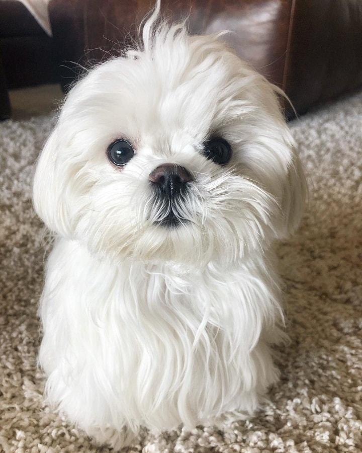 Maltese Puppy cost