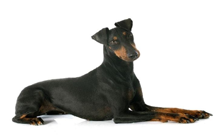 A Manchester Terrier posing.