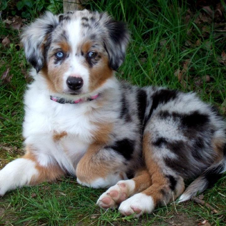 Miniature American Shepherd puppy cost