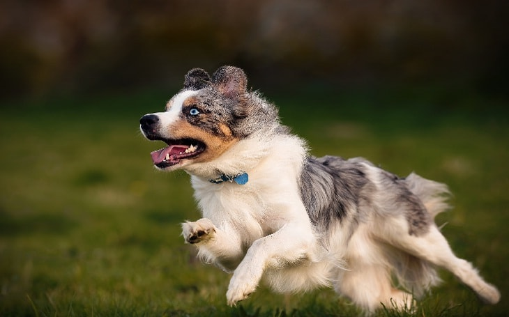 Miniature American Shepherd History and Behavior