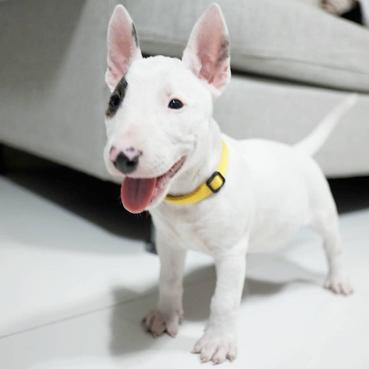 Miniature Bull Terrier Puppy Cost