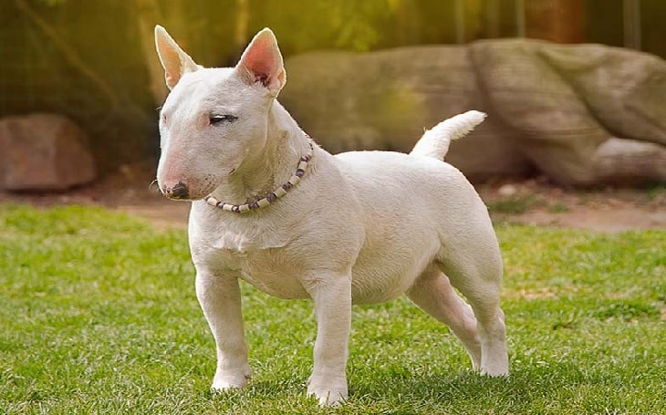 Miniature Bull Terrier History and behavior