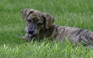 A Mountain Cur puppy.