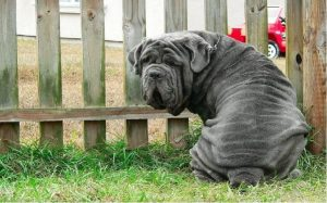temperament of Neapolitan Mastiff