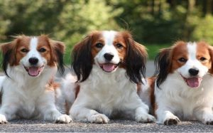 temperament of NederlandseKooikerhondje
