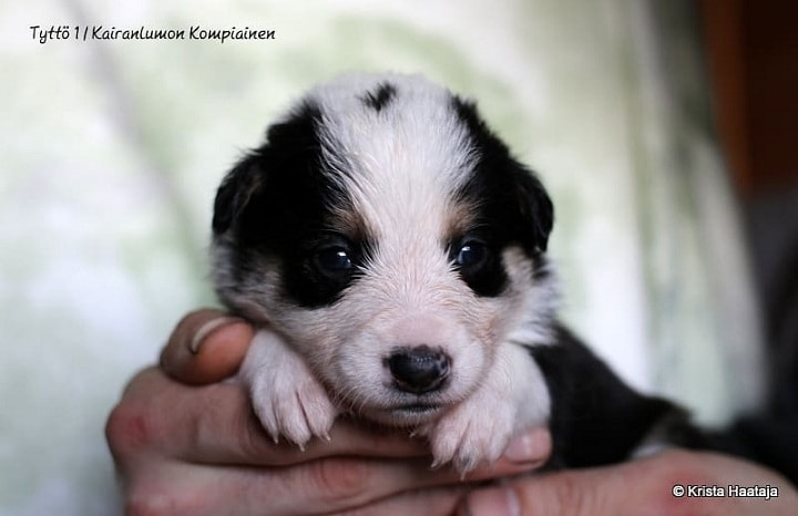 Lapponian Herder new born Puppy