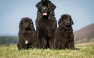 Origin and History of Newfoundland dog breed.