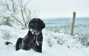 The Newfoundland Are Large Dogs