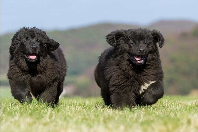 Newfoundland Puppies Are Child Friendly
