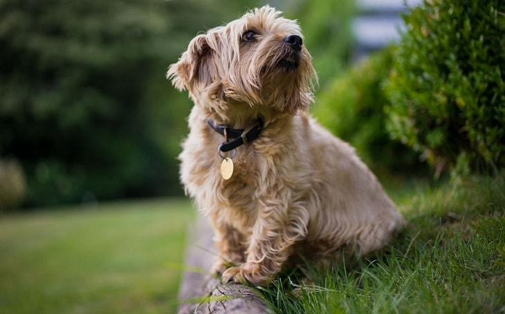 A Norfolk Terrier posing.