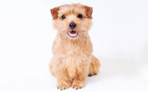 A wheaten furred Norfolk Terrier dog.