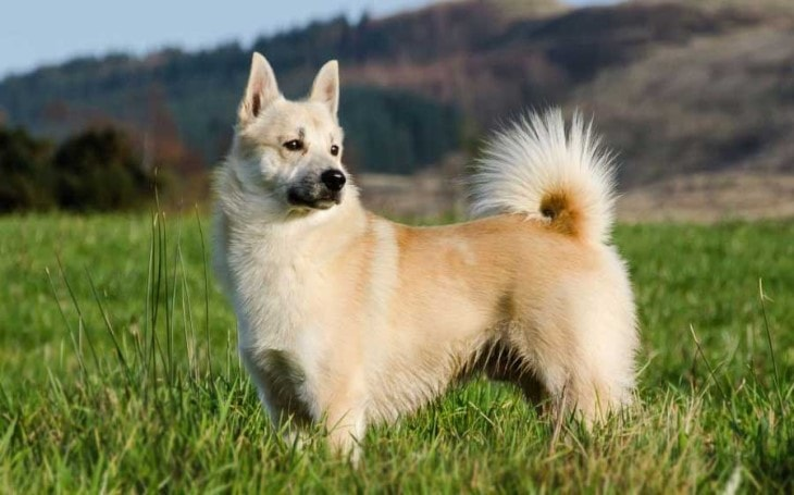 Norwegian Buhund Are Friendly Dogs