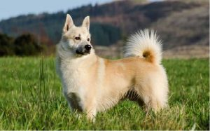 facts of Norwegian Buhund dog