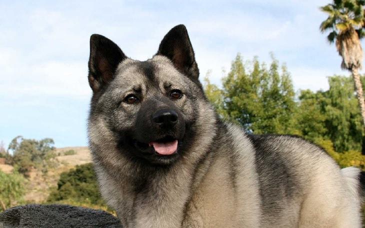 Norwegian Elkhound Dog Breed.