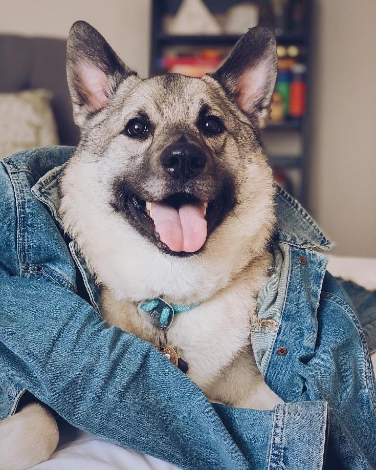 Norwegian Elkhound Dog.