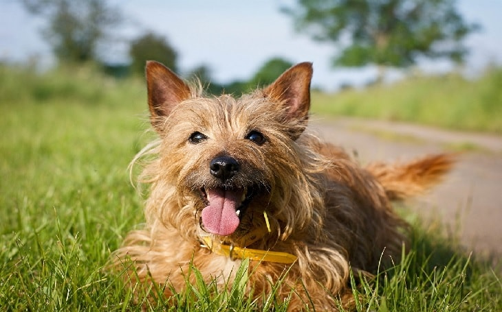 Norwich Terrier Smiling.