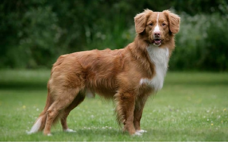 temperament of Nova Scotia Tolling Retriever dog