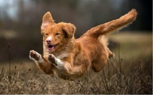 facts of Nova Scotia Duck Tolling Retriever