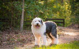 Old English Sheepdog Personality and Temperament