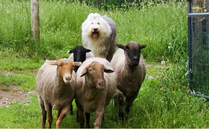 Old English Sheepdog is a herding dog