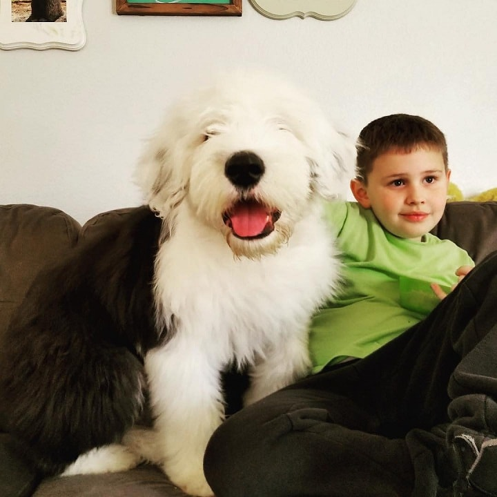 Old English Sheepdog is Child Friendly