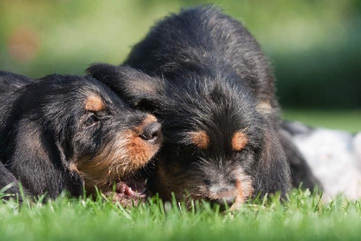 Otterhound Puppies Cost