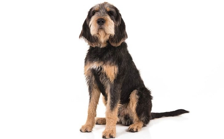 Otterhound Temerament and Personality