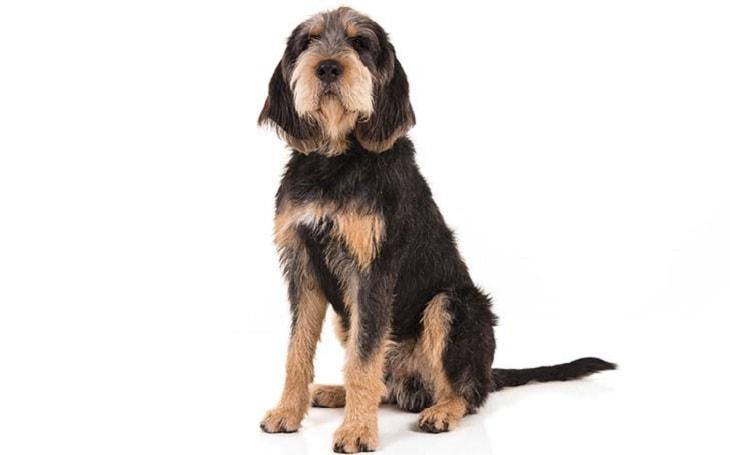 Otterhound Temerament and Personality