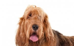 Otterhound hostory, behavior and personality