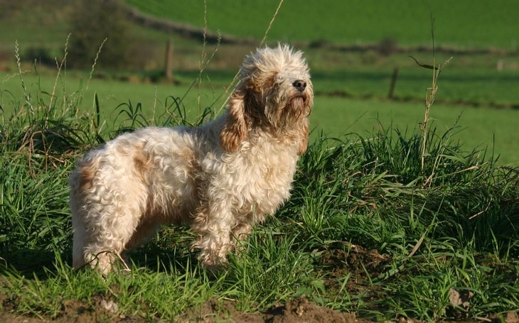 A Petit Basset Griffon Vendeen dog posing.