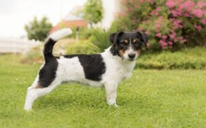 Black And White Parson Russell Terrier.