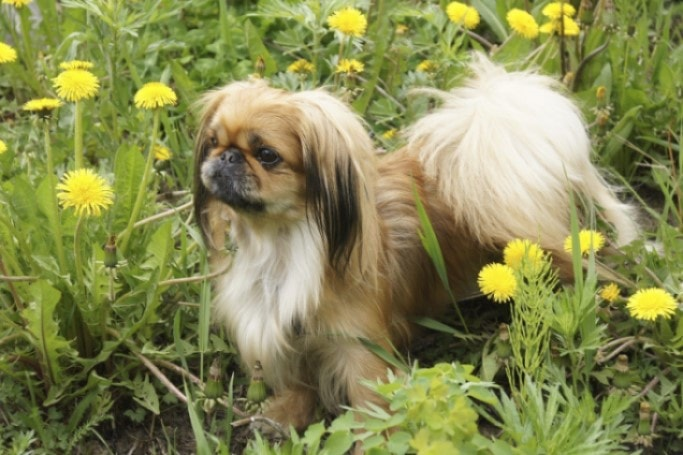 Pekingese Are Affectionate Dogs
