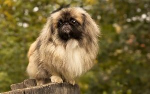Pekingese Dog Breed.