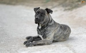 Perro de Presa Canario Is A Large Dog Breed