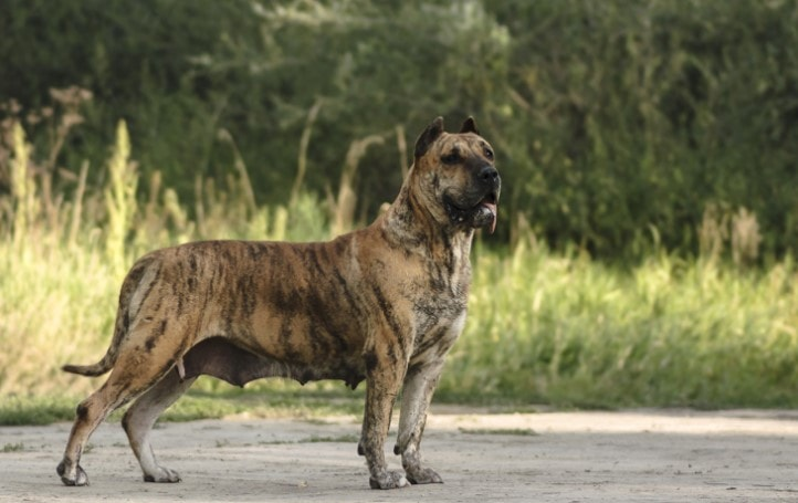 Perro de Presa Canario Is A Playful Dog Breed