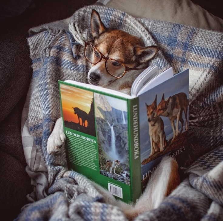 Norwegian Lundehund reading book.