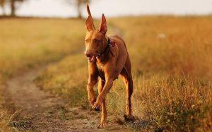 A Pharaoh Hound running.