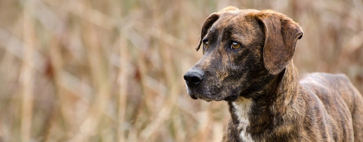 Plott Hound which is similar to Redbone Coonhound
