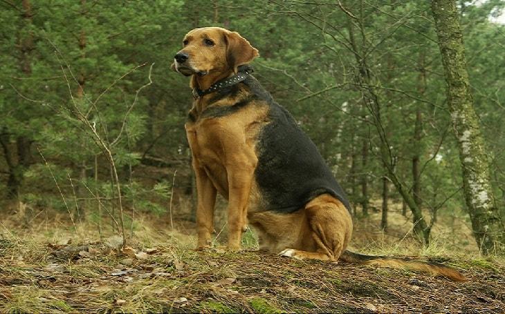 A Plott Hound posing.