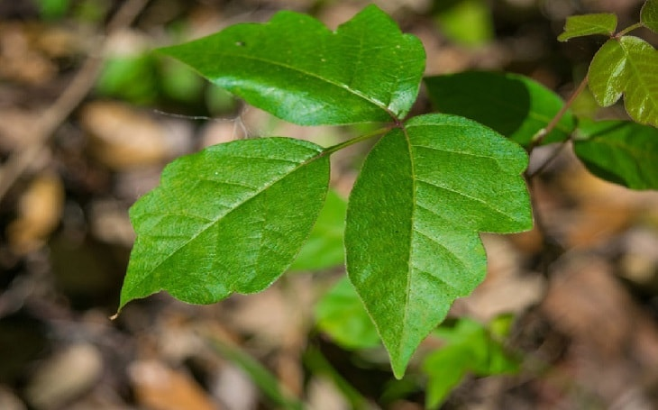 A Poison Ivy Plant