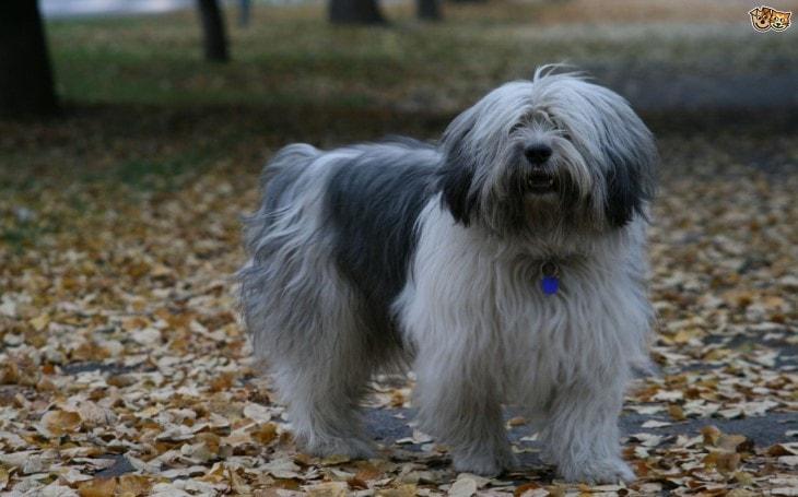 Polish Lowland Sheepdog Belongs To Poland
