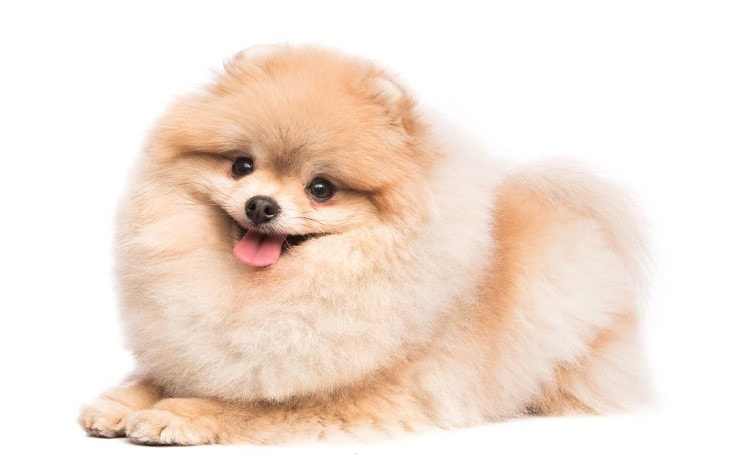 Pomeranian Are Small Dog Breed