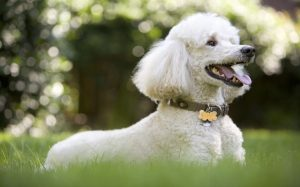 Poodle Are Lively dogs