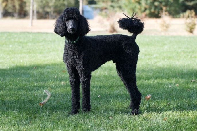 Poodle Are Excellent Pet Dog