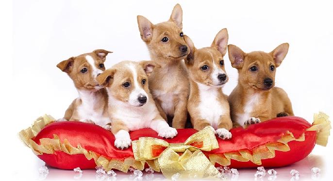 Portuguese Podengos Puppy cost