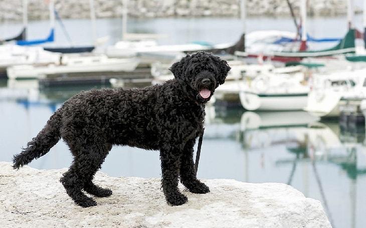 A Black Portuguese Sheepdog posing.