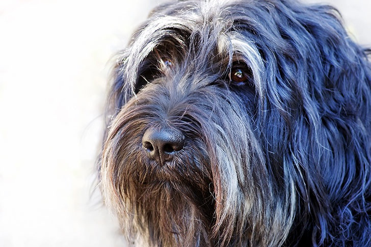 Portuguese Sheepdog which is similar to Portuguese Podengo