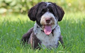 A happy Portuguese Water Dog.