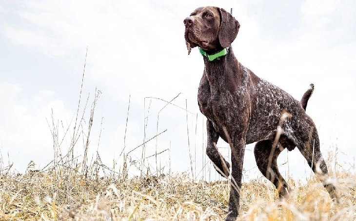 A Pudelpointer posing.